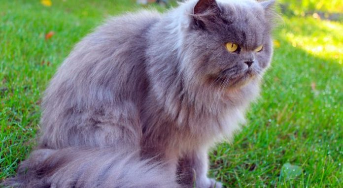 Picking The Perfect Persian Cat