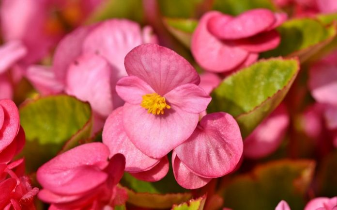 Begonias And Other Houseplants