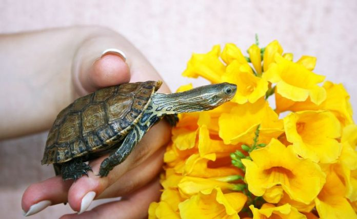 Tips on Caring For Your Pet Turtle